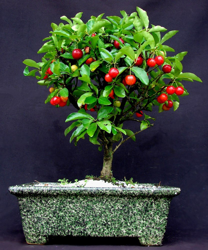 ACEROLA ORNAMENTAL BONSAI | Ocotea.net